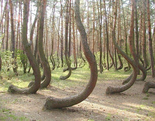 Këto pemë rriten në pyllin në afërsi të Gryfinos, Poloni. Shkaku i përthyerjes është i panjohur.