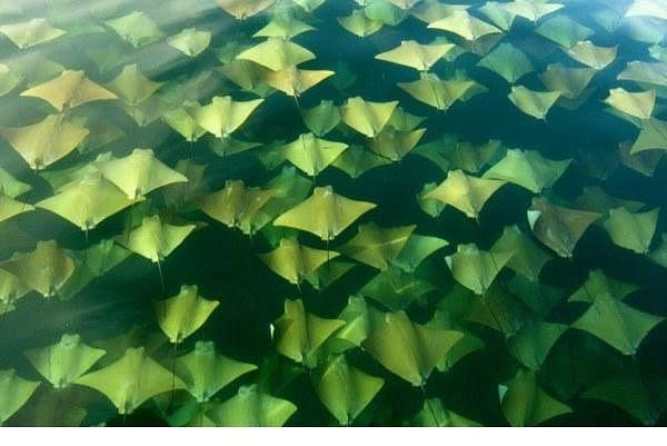 Dy herë në vit, gjuhëzat emigrojnë në gjirin e Meksikës. Rreth 10 mijë peshq petashuqë notojnë nga gadishulli Jukatan drejt Floridës në pranverë dhe kthehen në vjeshtë.