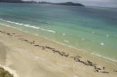 """Vajza që pa """"dhënien shpirt"""" të 145 balenave: kurrë nuk do të harroj klithmat e tyre!"""