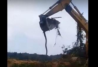 Përbindëshi i Tokës: ekskavatori ngarkon aksidentalisht një anakonda gjigande (video)