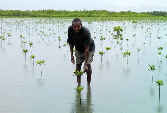 Pse Senegali vendos të mbjellë 80 milion pemë?